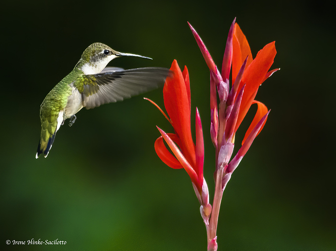 humingbirdfemalecannon3H-2520CRCROPDN10