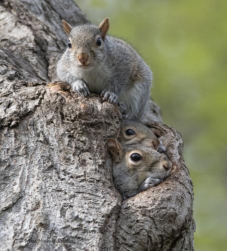 Squirrel3TwoInHole-6938CR10